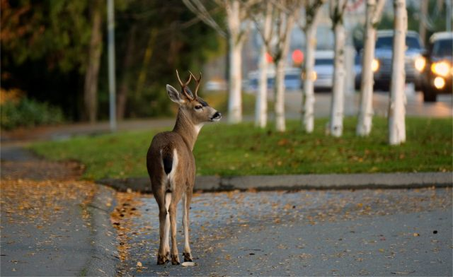 Young deer on side road looking out into rush hour