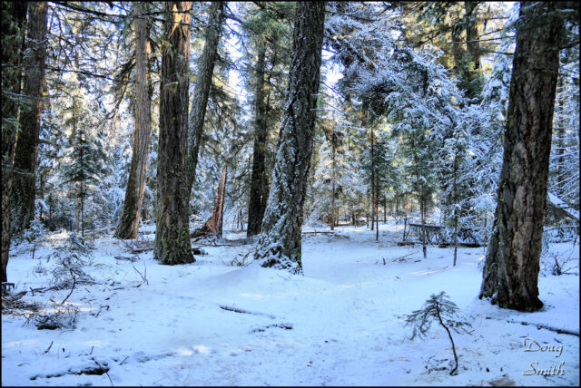The Marsh and Giant Firs on Snowshoes