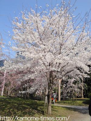 お台場の桜その2