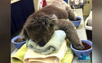 Κοάλα Αυστραλία