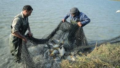 Photo of بحيرات الأسماك التابعة للعتبة العباسية المقدسة ترفد السوق المحلية بكميات كبيرة من الاسماك ذات النوعية الجيدة…