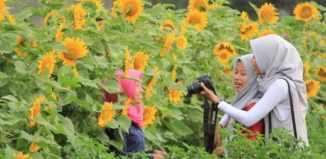 bunga matahari samas[