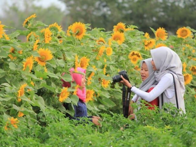 bunga matahari samas