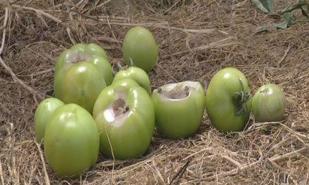 Ботритисот постепено го зема данокот на производителите на домати