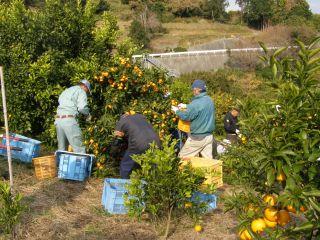周辺の農園での収穫作業(神奈川県ホームページより)