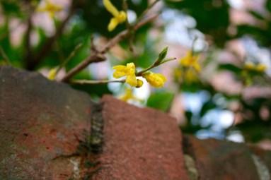 Yellow_blossoms_.jpg