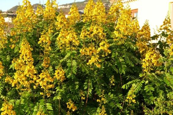 Cassia (Senna spectabilis)