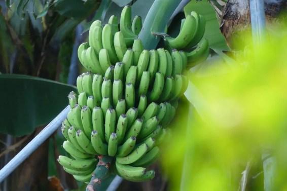 Plátanos - Bananen