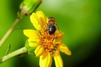 Insekt - Schwarze Biene