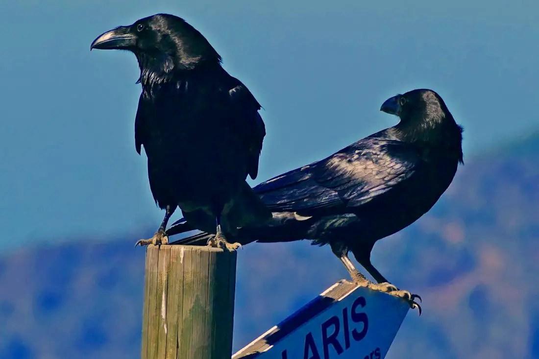 Vögel - Alpenkrähen