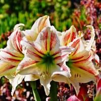 Amaryllis mit großer Blüte