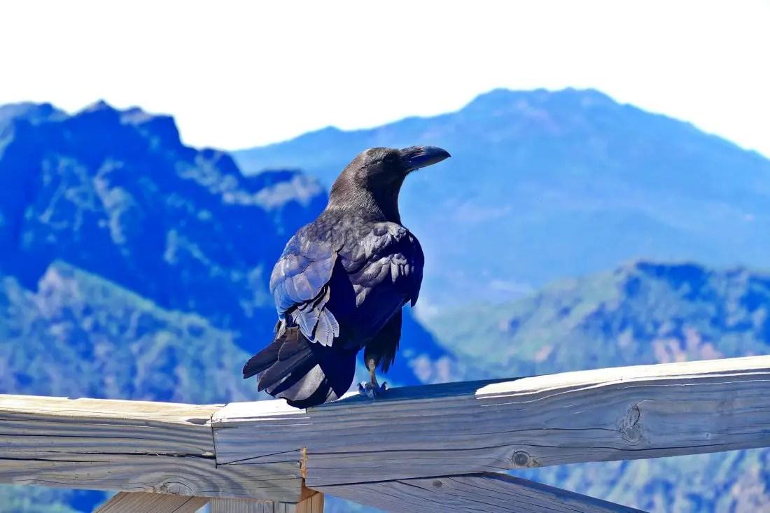 Vogel - Alpenkrähe