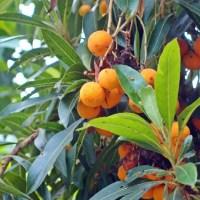 Kanarische Erdbeerbaum