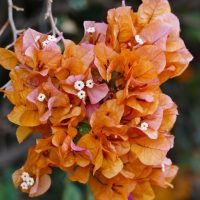 Bougainvillea in Orange