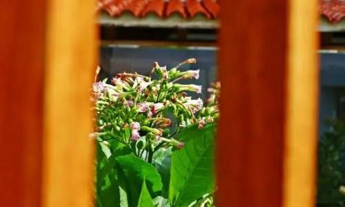 Blühende Tabakpflanzen