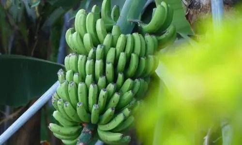 Alles Bananen