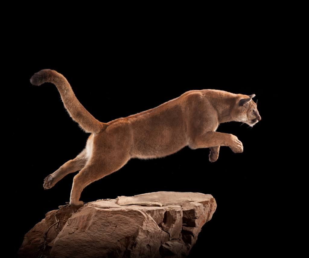 Mountain lion taxidermy side view