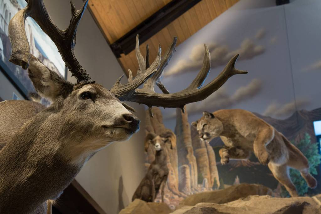 Mule deer mount and mountain lion taxidermy