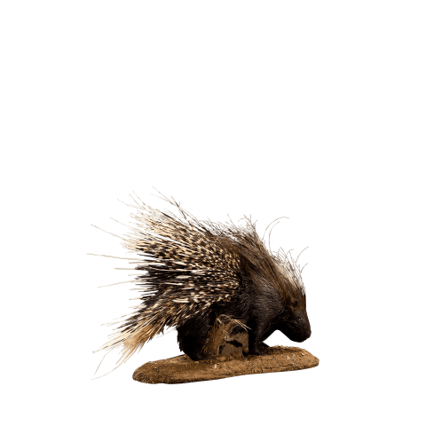 african porcupine life size