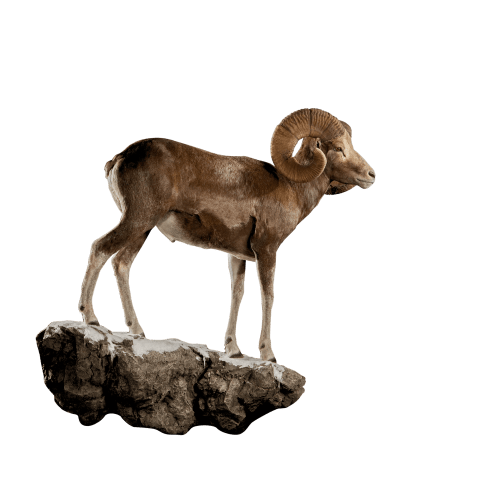 argali life size taxidermy