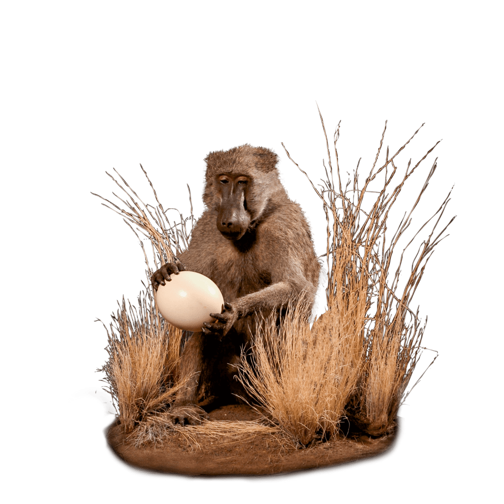 baboon with egg life size mount