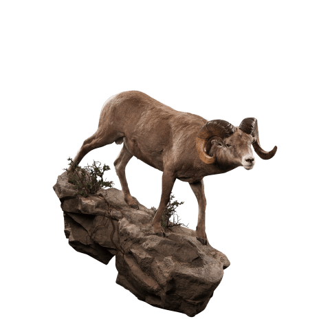 Bighorn sheep on rocks taxidermy
