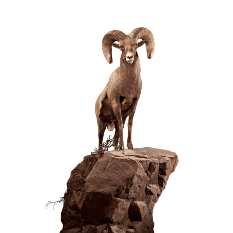 Bighorn sheep life size front view mount
