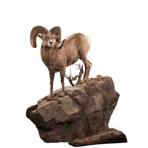 Bighorn sheep life size mount
