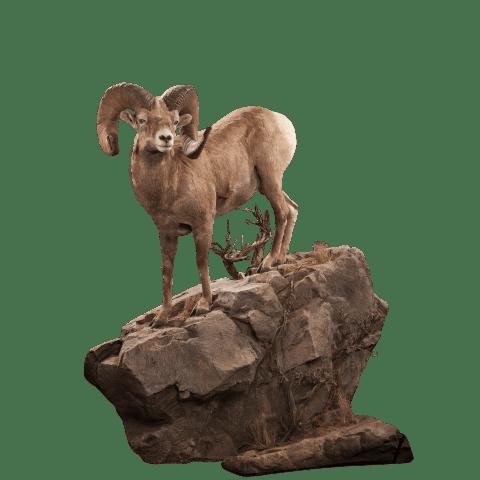 Bighorn sheep life size mount