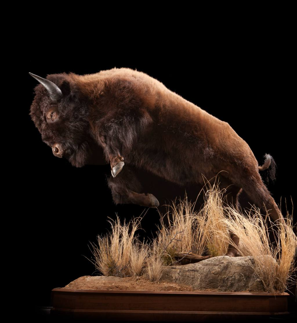 Bison in motion taxidermy full view