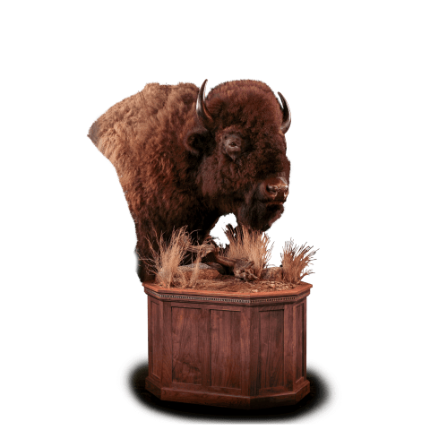 Bison pedestal taxidermy mount