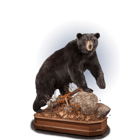 full size black bear taxidermy