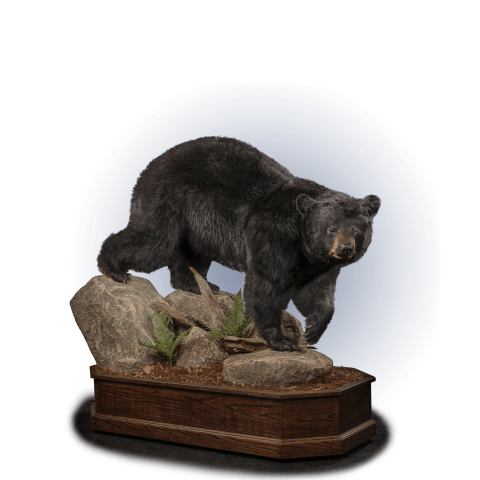 black bear on rocks