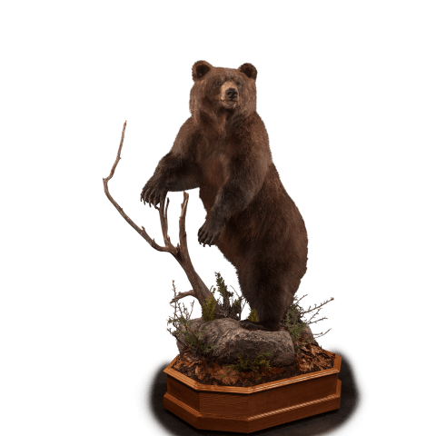 full size black bear on branch taxidermy