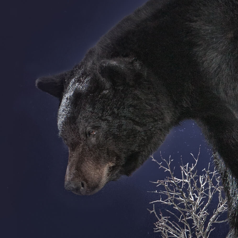 Black bear taxidermy