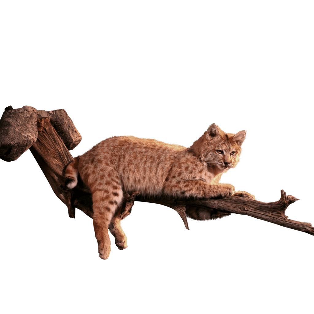 Bobcat in tree taxidermy