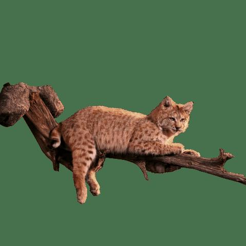Bobcat in tree taxidermy