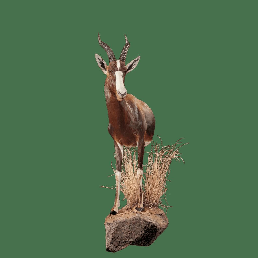 bontebok half size pose