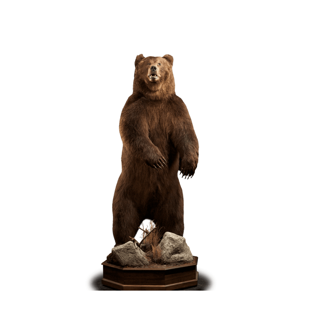 Full size brown bear mount