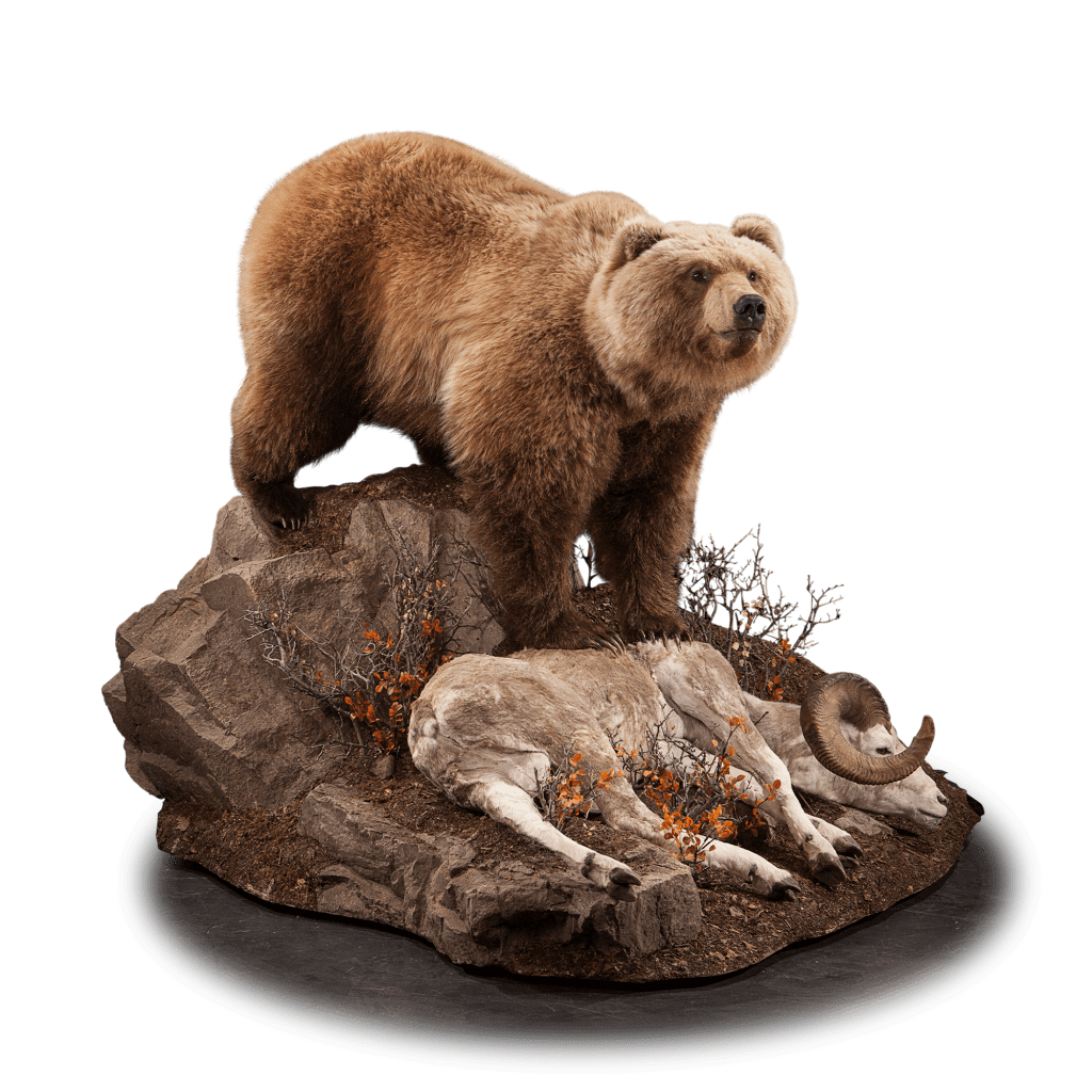 Brown bear catches sheep mount