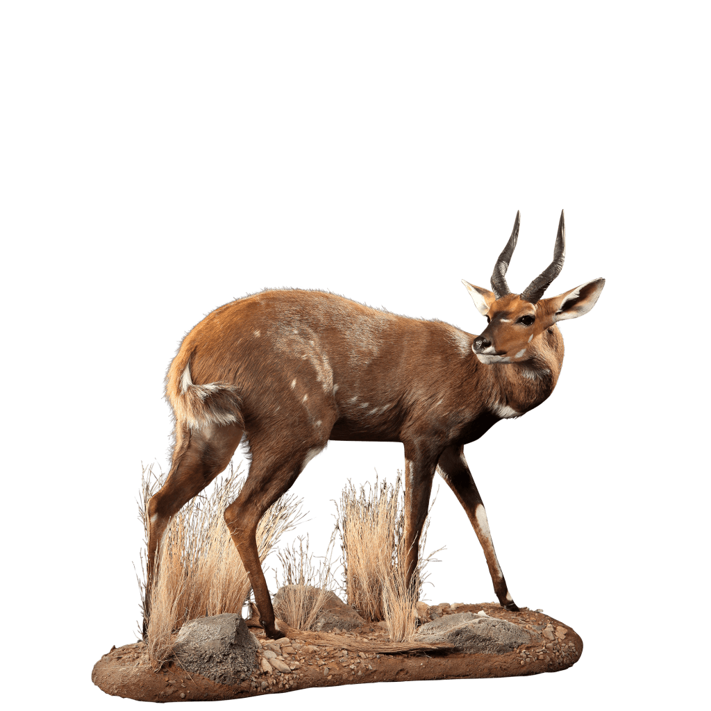 bushbuck full size mount