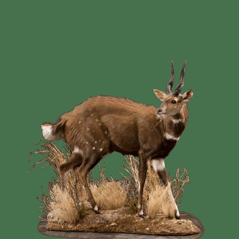 grazing bushbuck mount