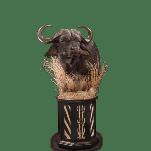 cape buffalo in the grass