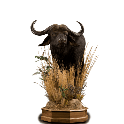 cape buffalo in the grass