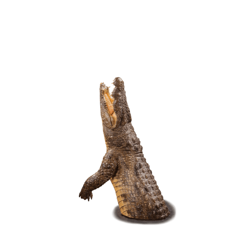 crocodile life size mount