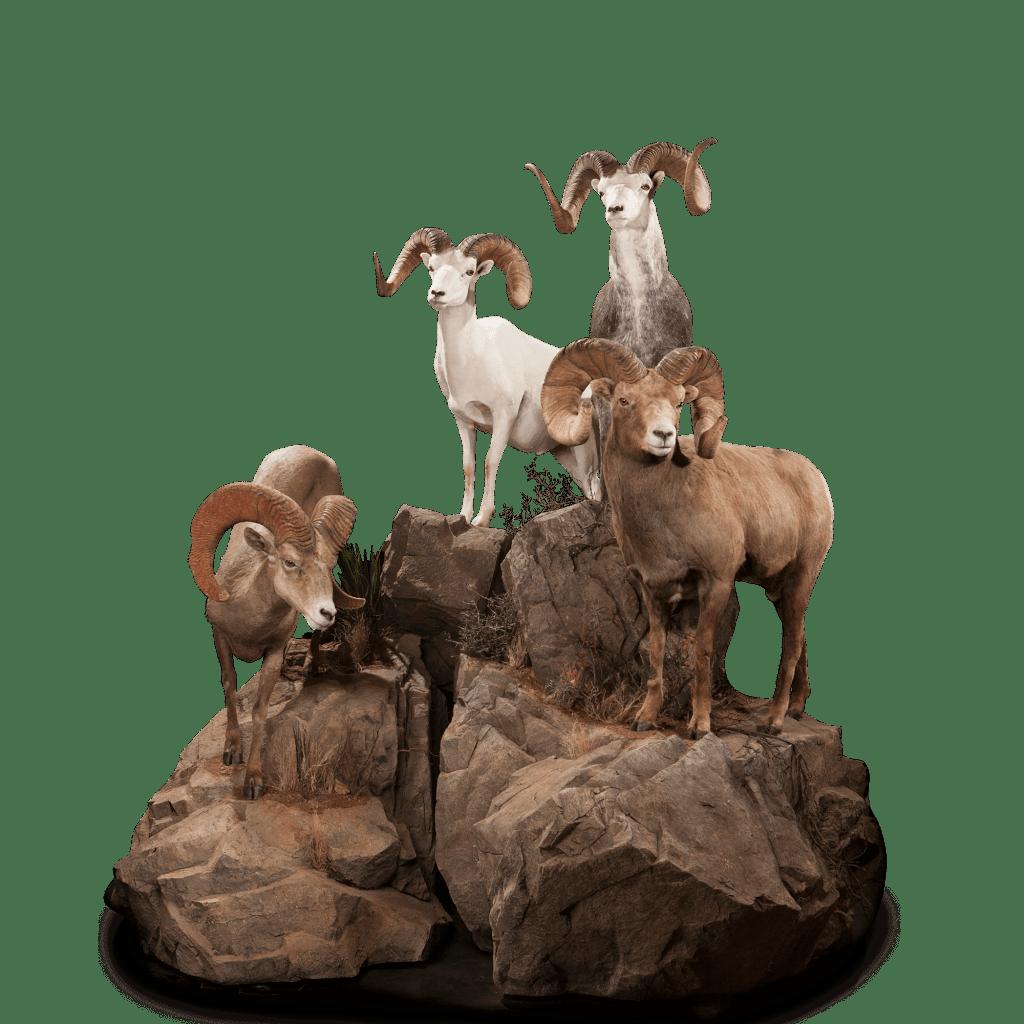 Lifesize bighorn sheep taxidermy