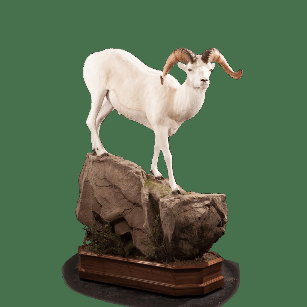 Dall sheep life size mount