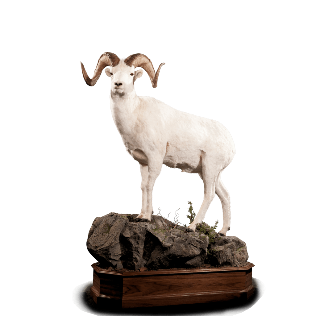 LIfe size dall sheep taxidermy