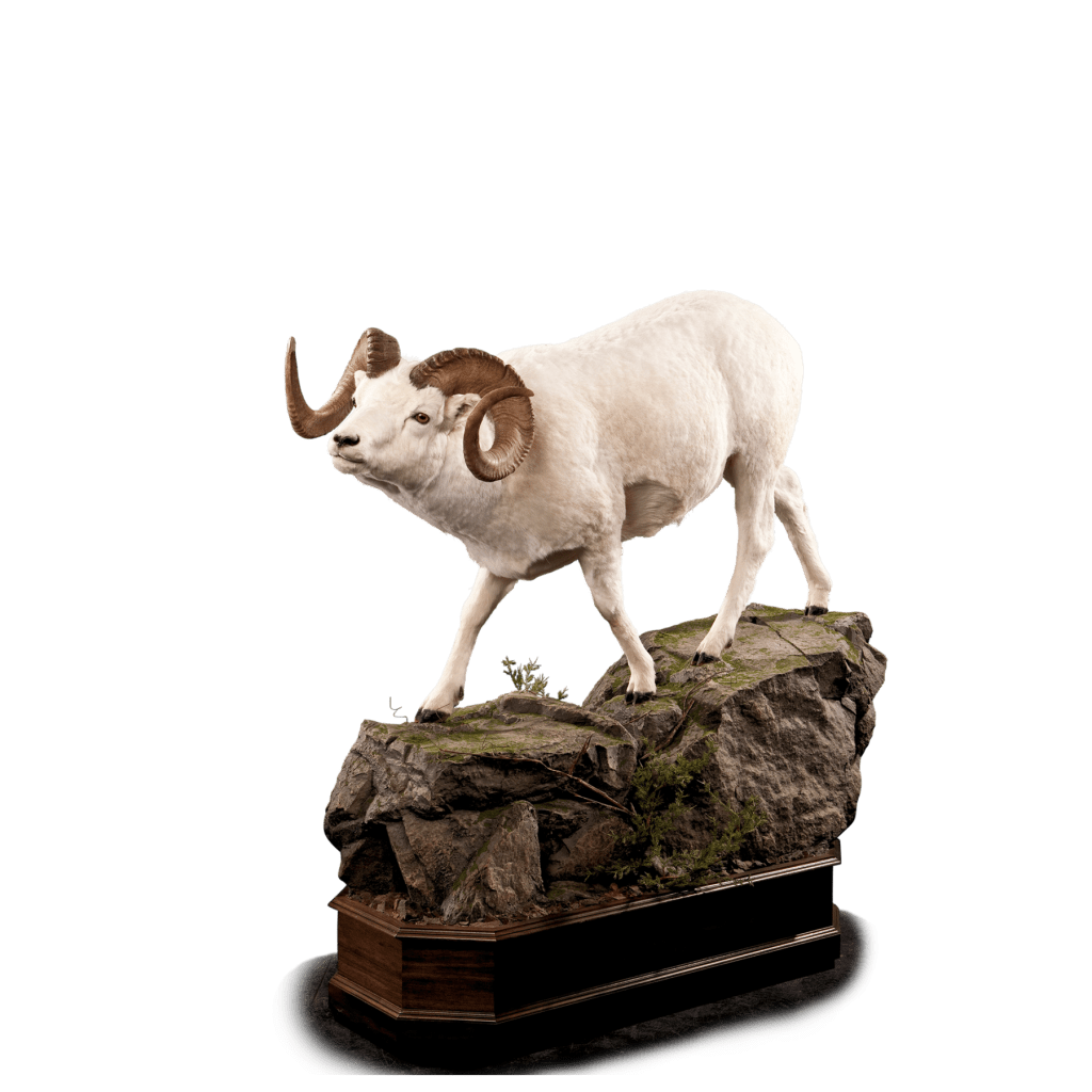 Dall sheep posed life size