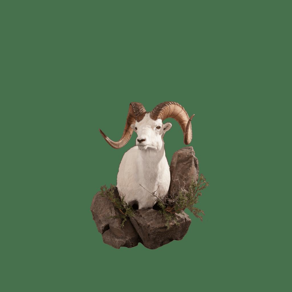 Sheep shoulder mount
